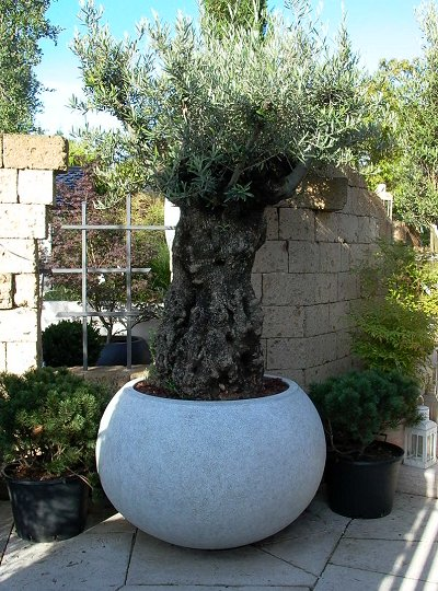 olivenbäume für ihr gartenambiente - michael hahn gartenbau, Garten ideen